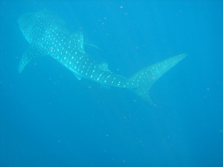 Whale Shark, Ningaloo Reef -