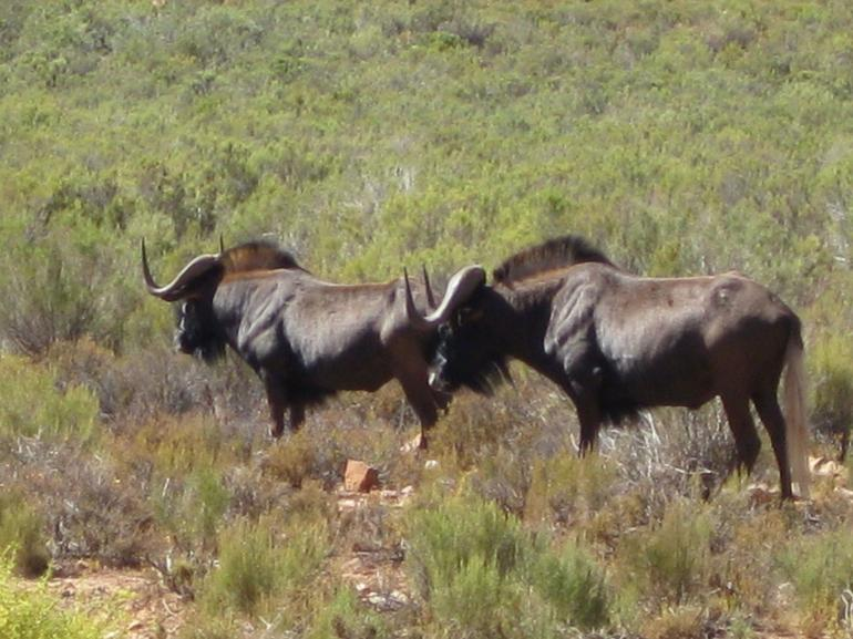 Two wildebeest searching green fields - Cape Town