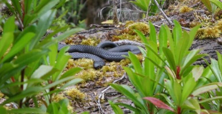 Black snake! - Tasmania