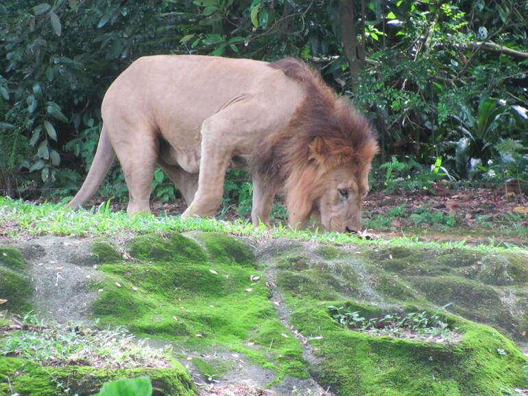 Lion - Singapore