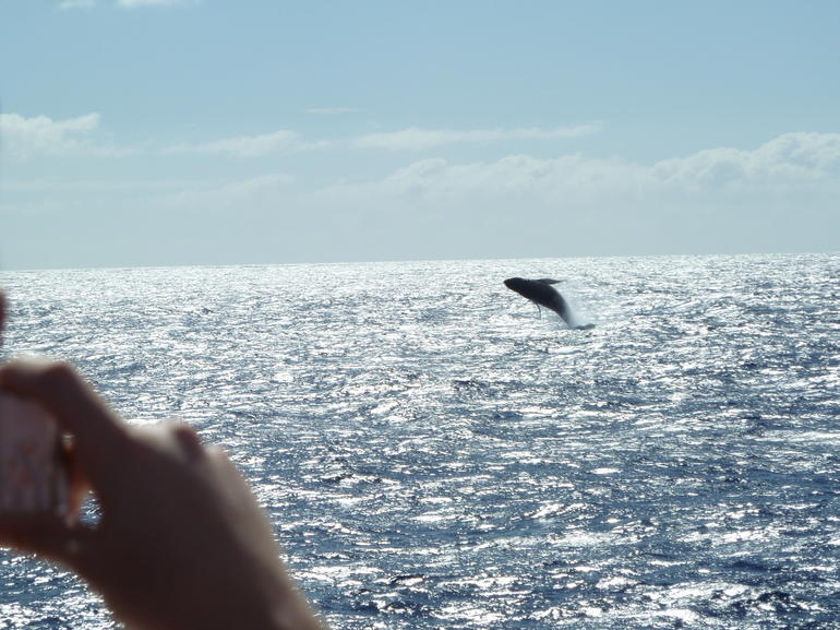 A whale breaching, Oahu whale watching cruise - Oahu