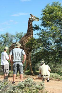 Giraffes - May 2016