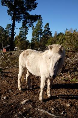 Icelandic Horse , Diana T - October 2016