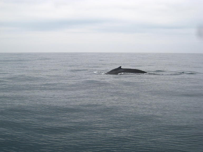 Grey whale - San Francisco