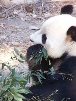 Giant Panda: Lunchtime at the zoo , Travis P - March 2011