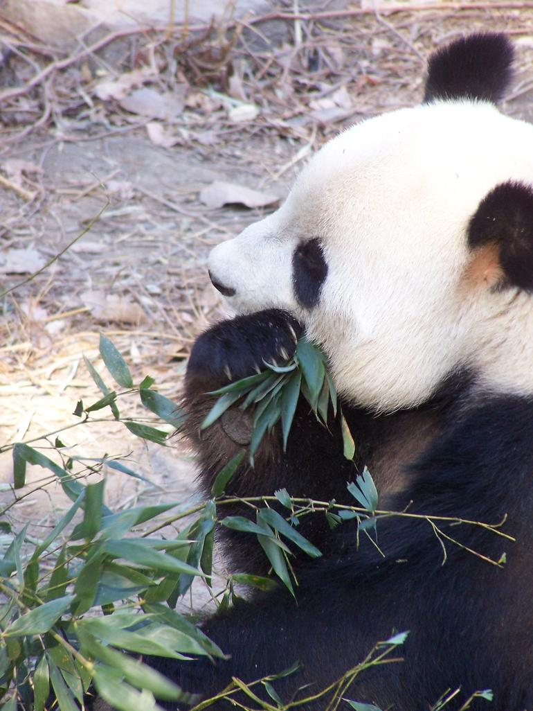 Visiting the Pandas - Beijing
