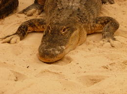 One of the alligators from the show , george - October 2013