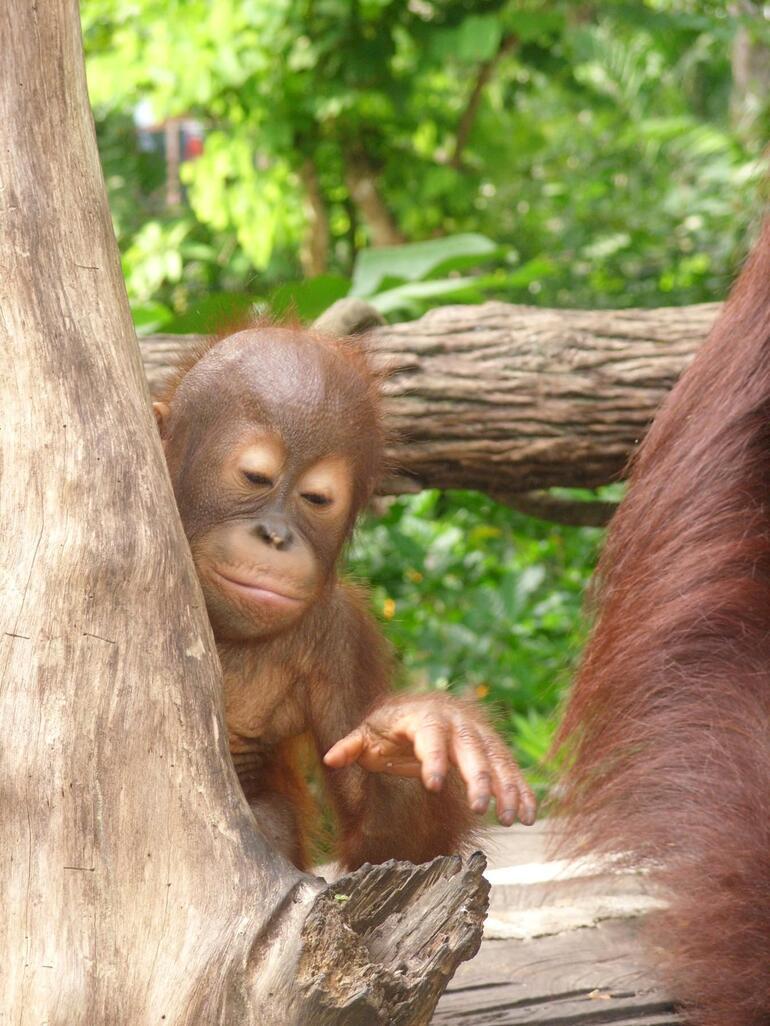 Baby Orangutan - Singapore