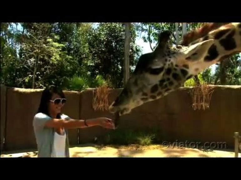 Giraffe, San Diego Zoo - San Diego