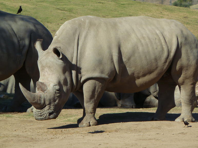 Rhinoceros - San Diego