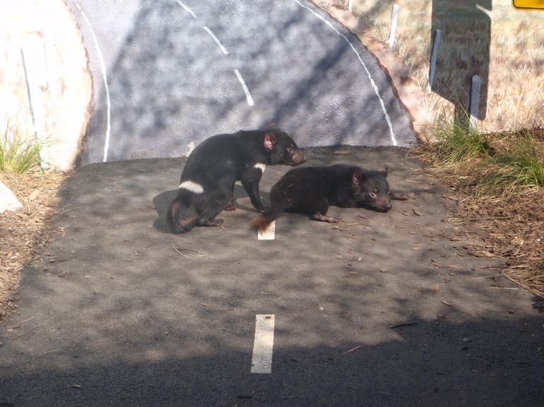 Tasmanian devils - Sydney