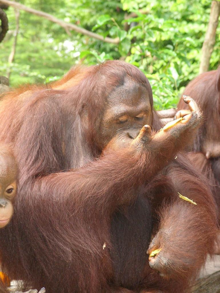 Orangutan eating breakfast - Singapore