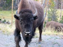 """""""Oh give me a home, where the buffalo roam"""", World Traveler - February 2014"""