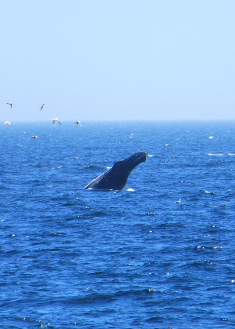 Humpback whale - Boston