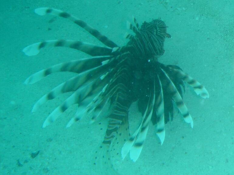 Lion Fish -
