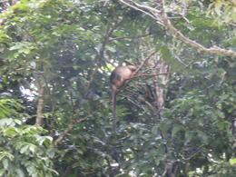 Tree Kangaroo , Jean G - August 2016