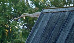 Dragon ornament on barn , Diana T - October 2016