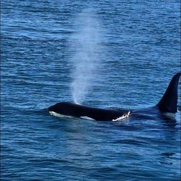 We saw two Killer Whales , Areeya - November 2015