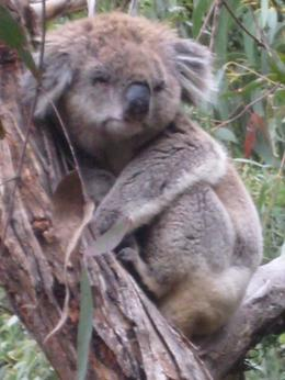Up close and personal with the Koalas , Stacy F - May 2012