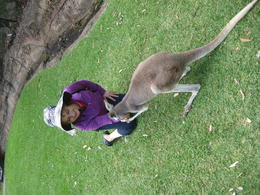 feeding kangaroo , Madlena M - January 2014