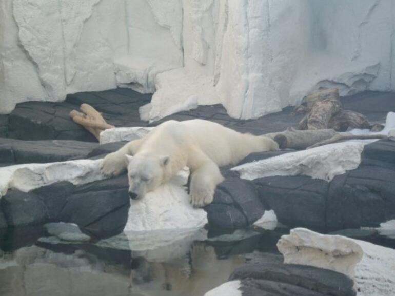 polar bear! -