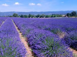 Lavender Trip 27.06.2017 , Oxy G - July 2017