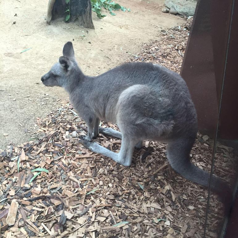 Easter Grey Kangaroo!