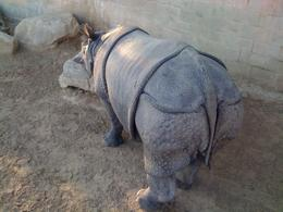 Rhinoceros having a walk. - February 2009
