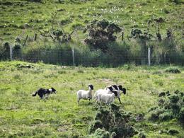 Shepard Dog and Sheep Demo , Marina G - July 2013