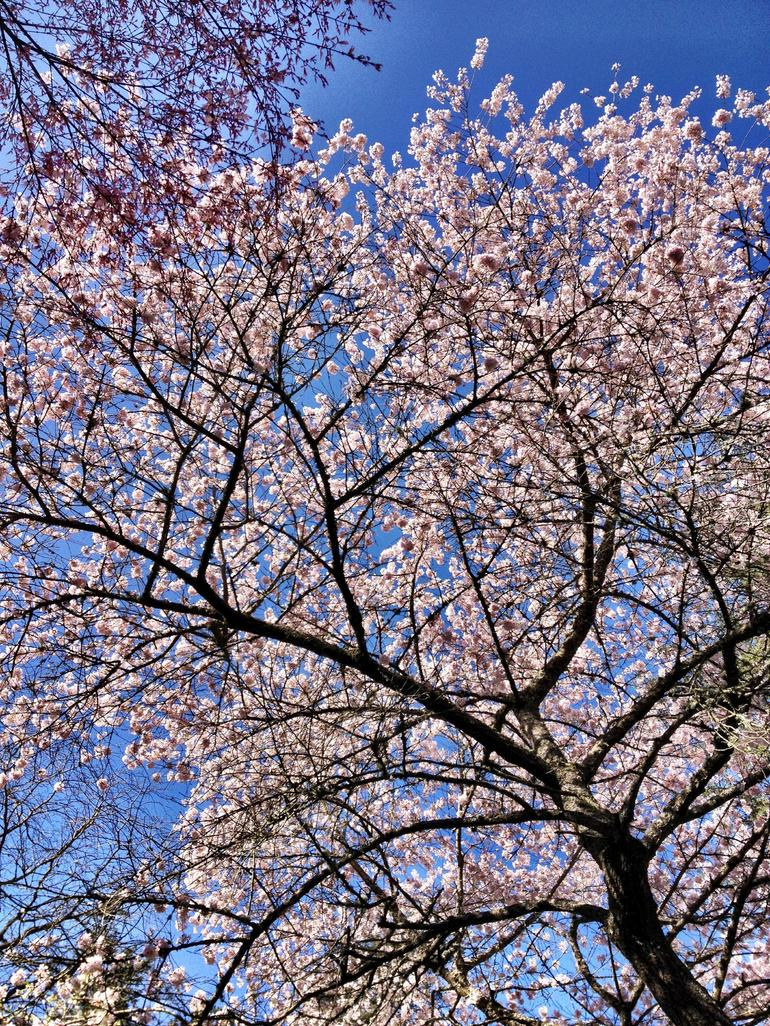 Trees in bloom - Portland