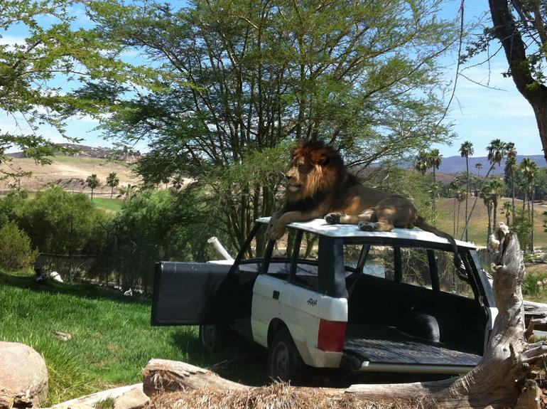 Big lion! - San Diego