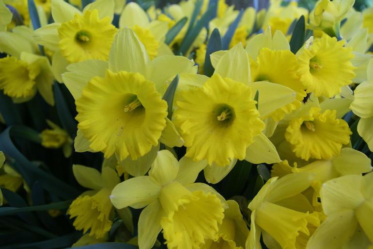 Daffodils - Amsterdam