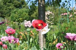 Monet's Garden, Aileen V - June 2008