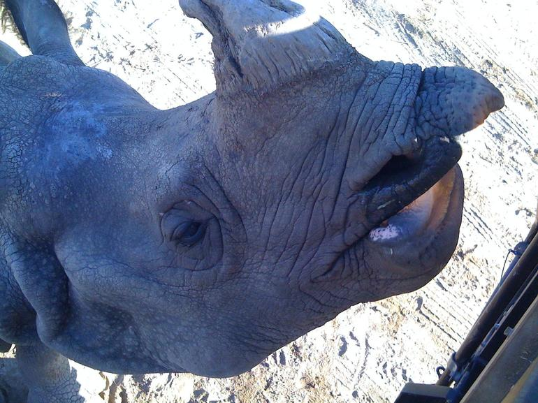 Rhinoceros up close. - San Diego