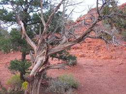 Twisting of tree due to vortex energy...In this case counter clockwise. , Deborah W - October 2012