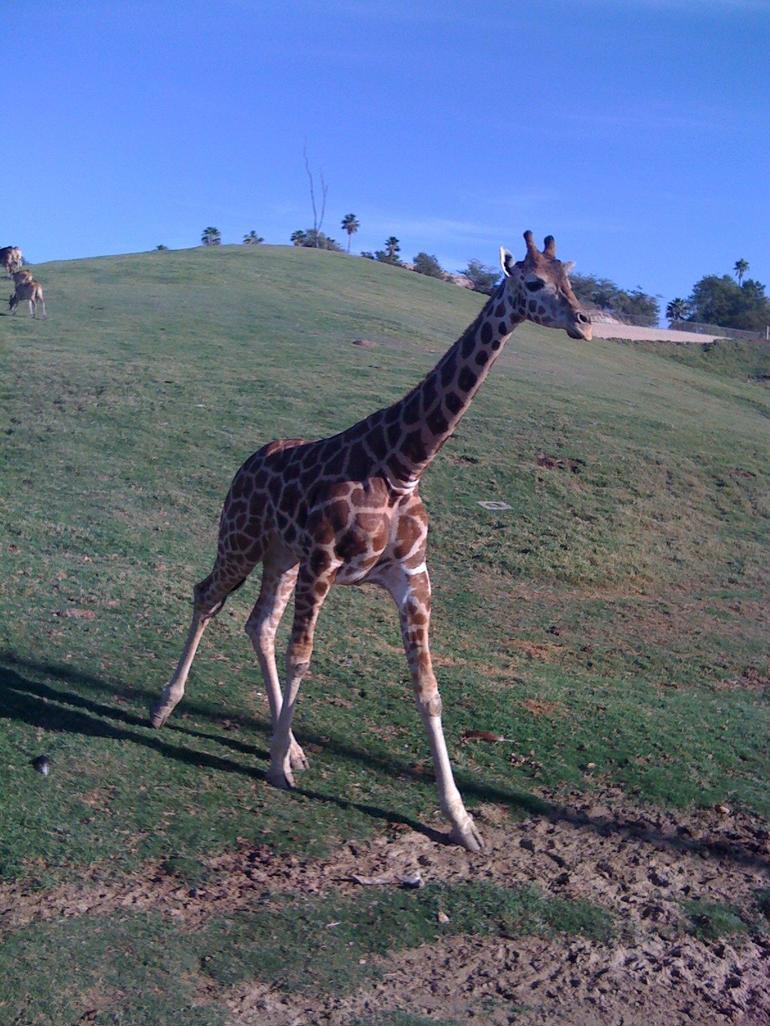 Miss Giraffe on the run! - San Diego