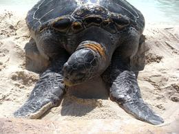 This tortoise was huge! - October 2009