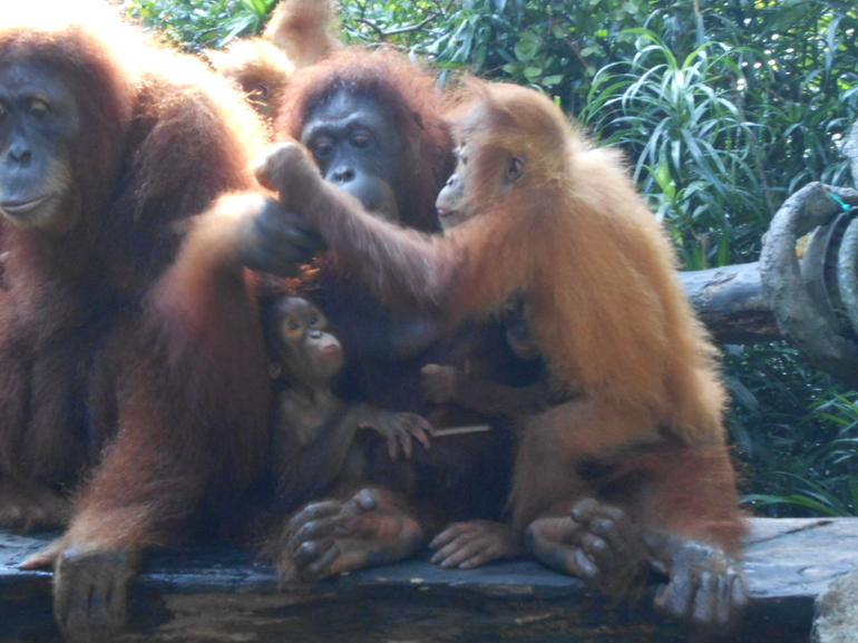 Fantastic experience with the Singapore Orangutans - Singapore
