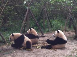 Gorgeous Pandas , JENNIFER K - May 2013