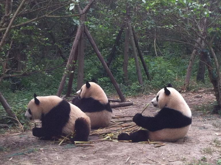 Gorgeous Pandas - Chengdu