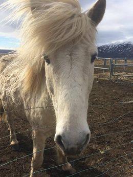 Icelandic horse , Jonathan R - April 2016