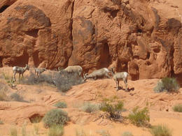 Big Horn Sheep!, Cutie Repolinos - May 2013