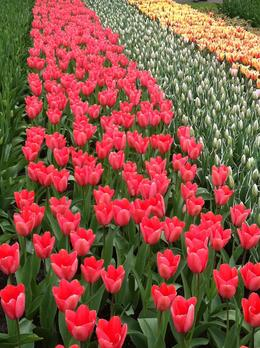 Thousands of Tulips!, isa - March 2013