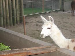 Feeding the llamas!, Bandit - June 2012