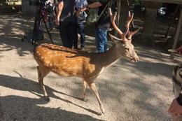 Plenty of deer to feed at Nara , Ma Angeles A S - January 2017