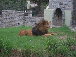 Yawning lion ready for a nap., Bandit - June 2012