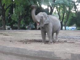 An elephant giving himself a mud bath., Bandit - June 2012