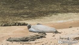A Monk Seal chilling on the beach! , allen g - August 2015