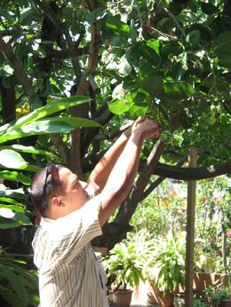 Tour guide showing us the cashew nut fruit., Choon Hon T - February 2008