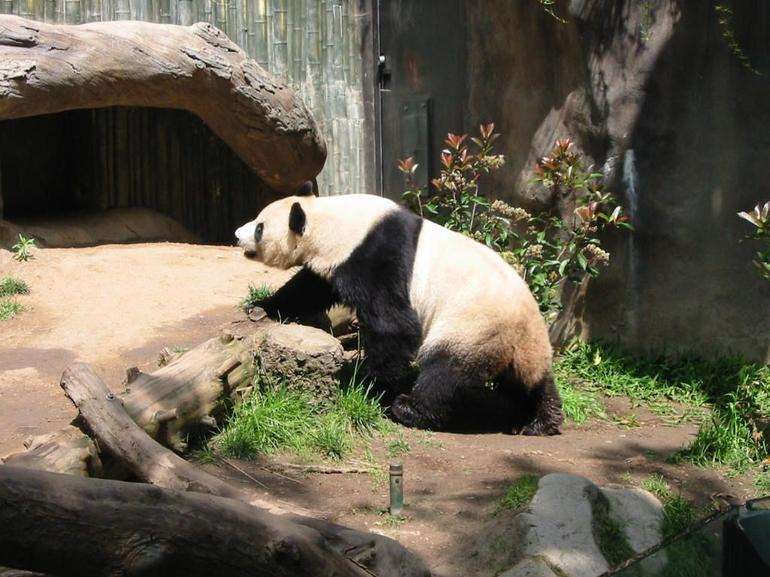 Panda seeking the sun at San Diego Zoo - San Diego